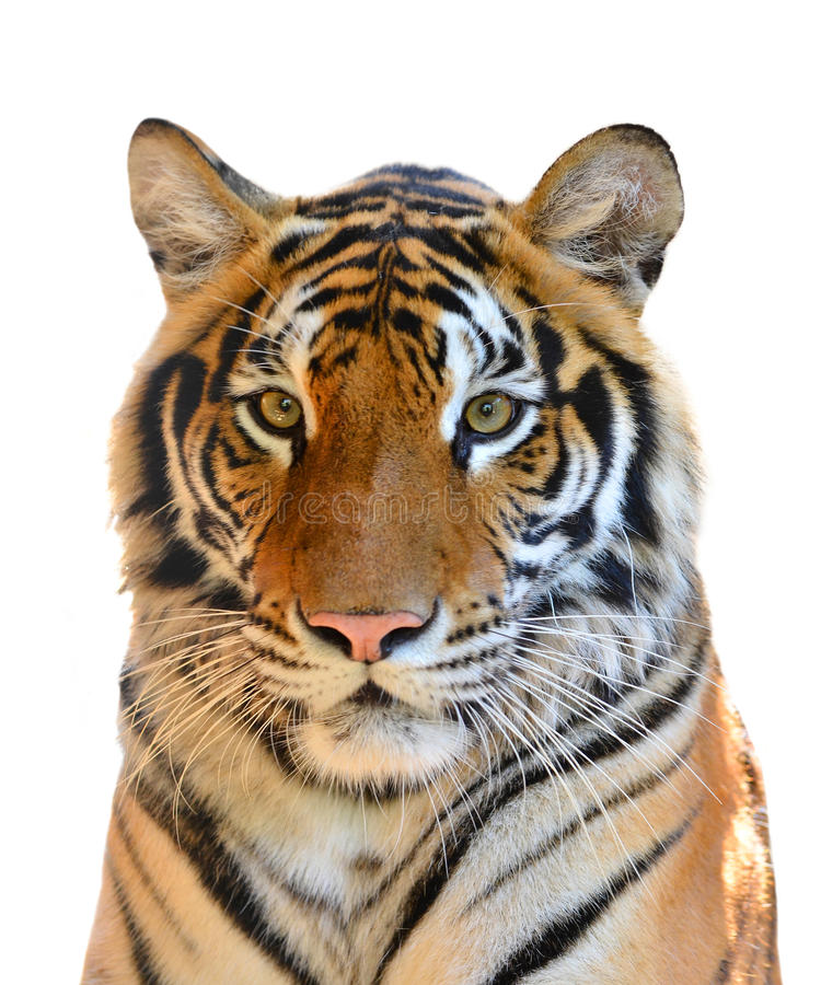 Tiger head isolated. On white background royalty free stock photos
