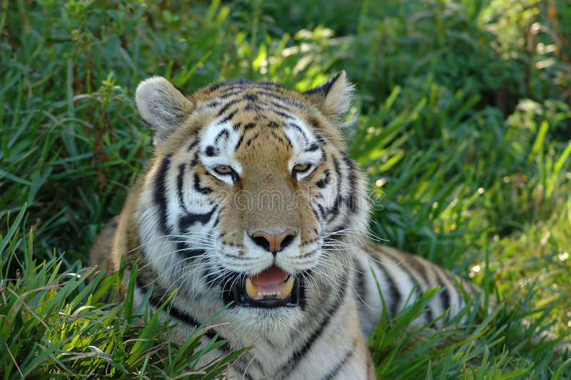 Tiger Head Portrait. A beautiful wild Tiger head portrait with alert expression in the face watching other animals in a game park outdoors while resting royalty free stock images