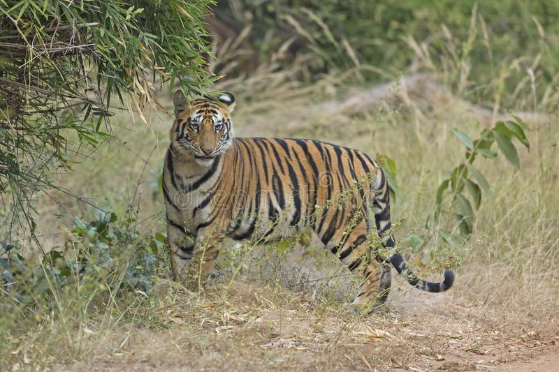 Tiger Head on. A young tiger from Bandhavgarh forest sniffed the bamboo cluster and was about to flehmen. He looks with a funny looking facial expression just stock image