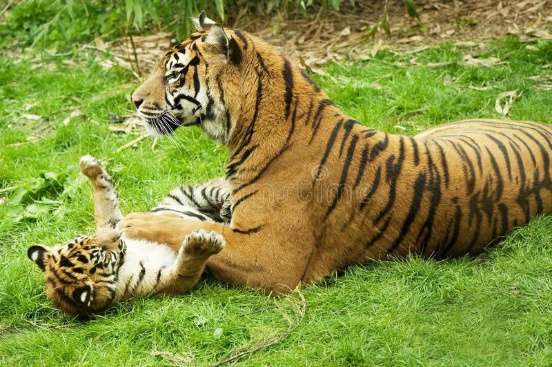 Tiger and her cub. A tiger and her cub playing on the grass