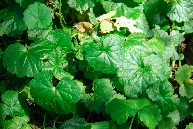 Tiger Herbal Scientific name Centella asiatica Urban, Family Name APIACEAE Herbaceous plant life was like for many years stock photography