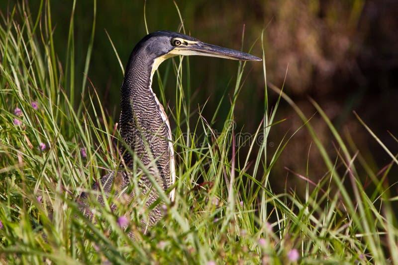 Download Tiger-heron Bird Sitting Between The Grass Stock Photo - Image: 11515024