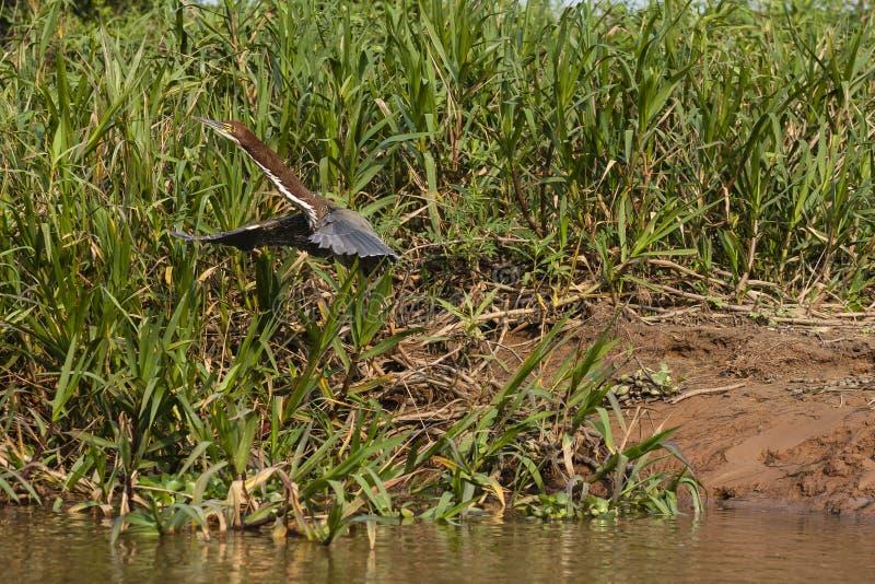 Tiger Heron Just Starting Rufescent à décoller en vol image stock