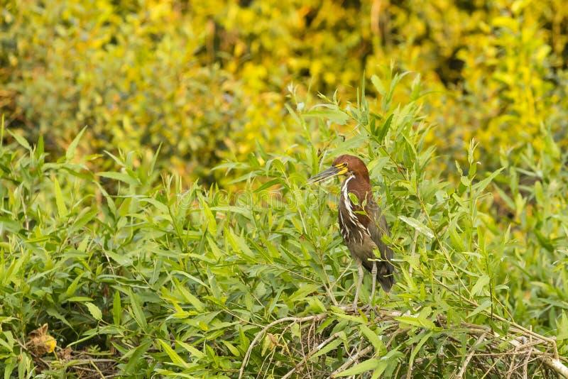 Tiger Heron Perched Rufescent mûr parmi des buissons photos stock
