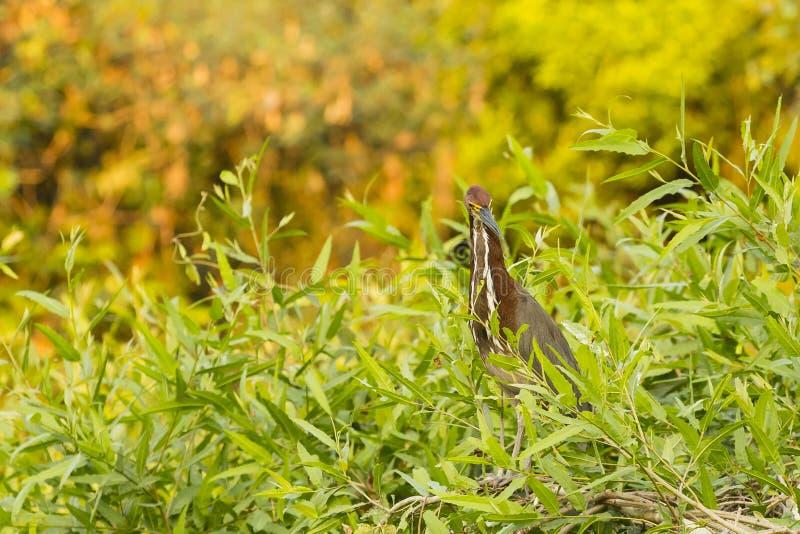 Tiger Heron Perching Rufescent mûr dans les buissons image libre de droits