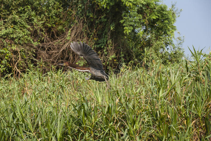 Tiger Heron Rufescent en vol au-dessus des herbes image stock