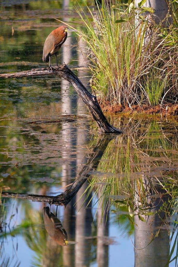 Tiger Heron Rufescent, Tigrisoma Lineatum, réflexion dans la lagune Lagoa DAS Araras, Bom Jardim, Mato Grosso, Brésil photo libre de droits