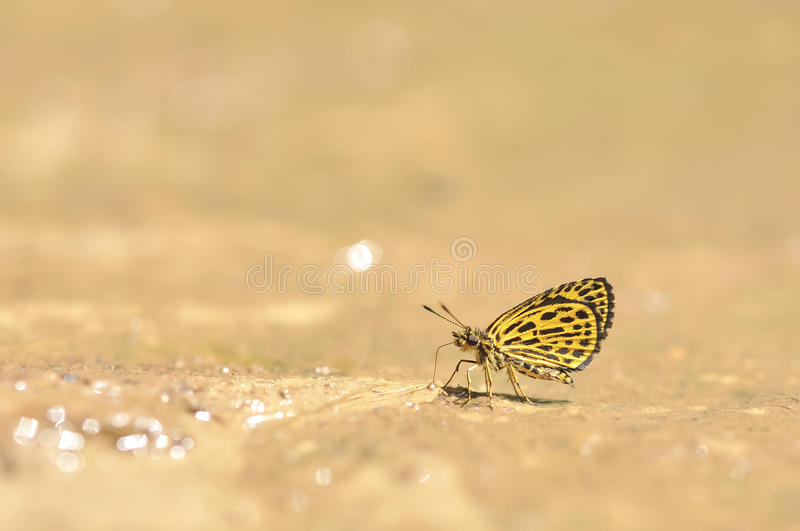 The Tiger Hopper butterfly feeding food on the ground in nature,Thailand stock images