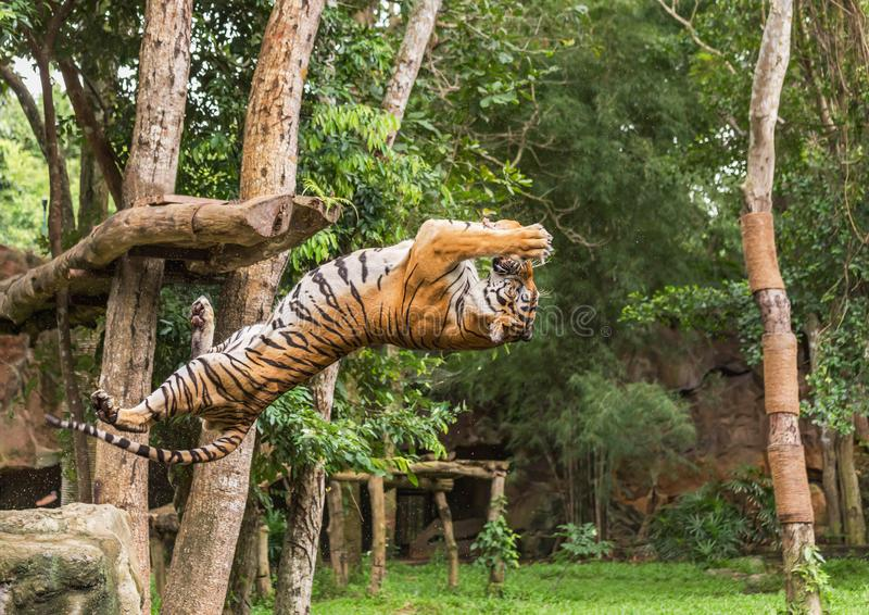 Tiger hungry in action jumping backward catch to bait food in the air royalty free stock images