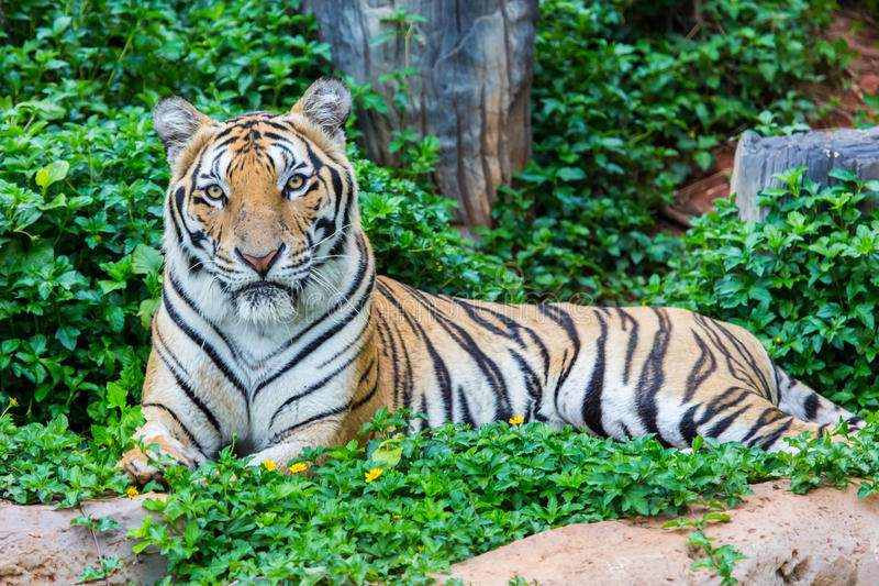 Tiger. Hunters of wild animals is alarming stock images