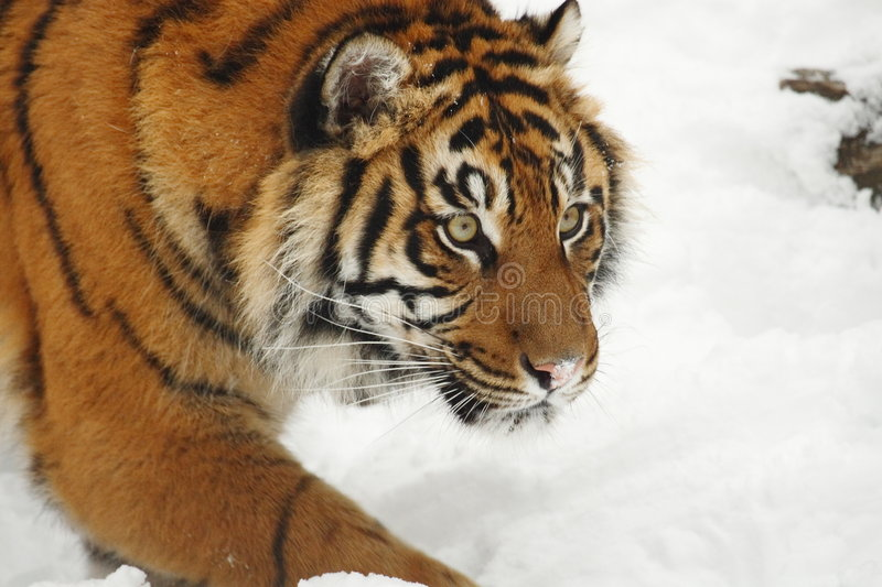 Tiger hunting royalty free stock images