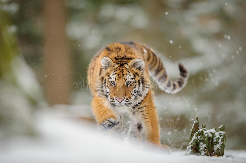 Tiger hunting down prey from front side in winter. Siberian tiger from front view, runing to hunt down prey in winter on snow royalty free stock images