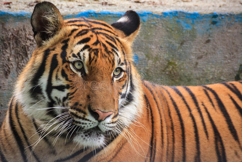 Tiger hunting for food royalty free stock photography