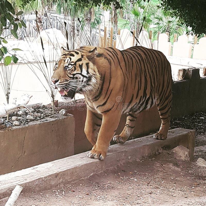 Tiger i Benidorm royaltyfri foto