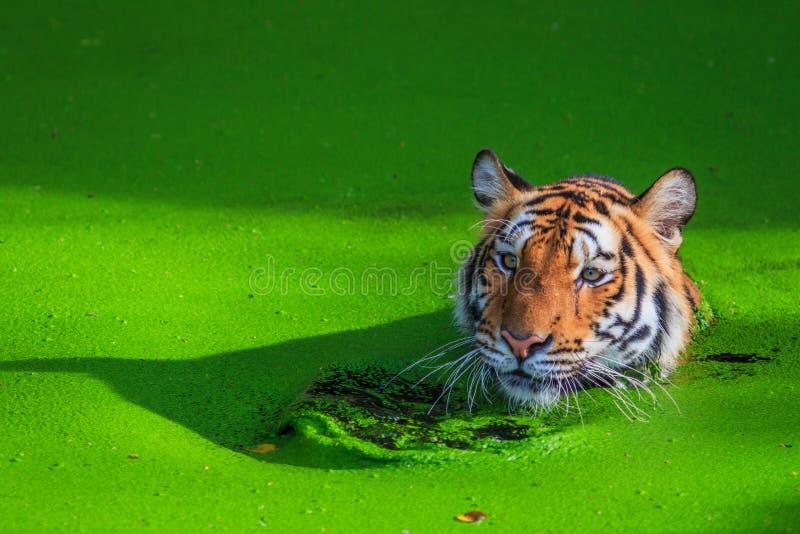 Tiger i bevattna royaltyfria foton