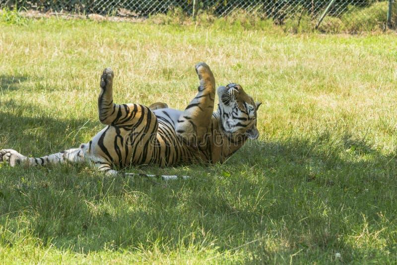 Tiger i en djurlivreserv royaltyfria foton