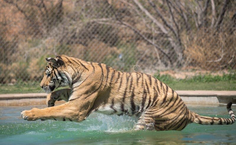 Tiger i en simbassäng arkivfoton