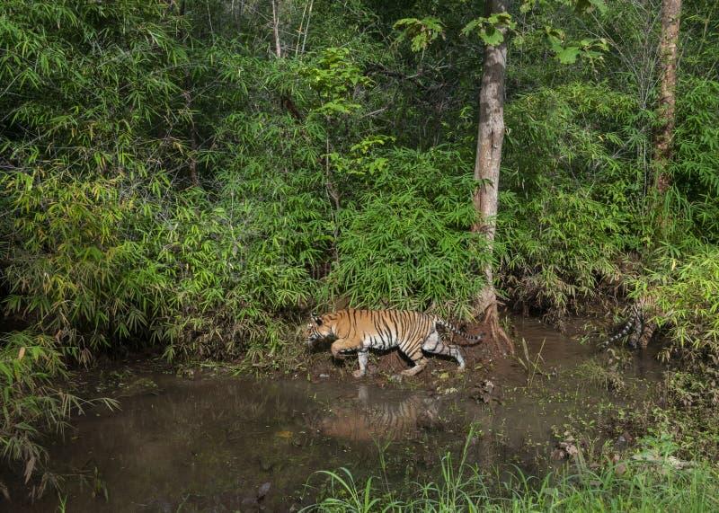 Tiger i gr?n monsunskog f?r lusta p? maharashtraen f?r Tadoba tigerreserv, Indien royaltyfri fotografi