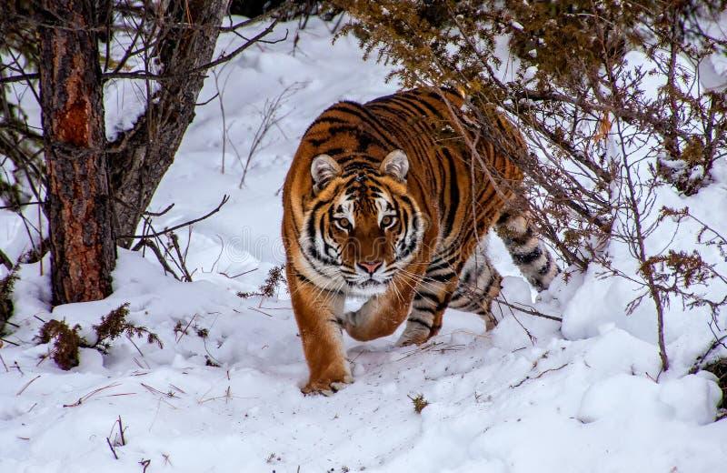 Tiger i skogen royaltyfri fotografi