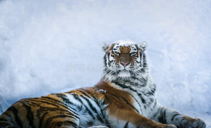 Tiger i snövinterskog royaltyfri bild