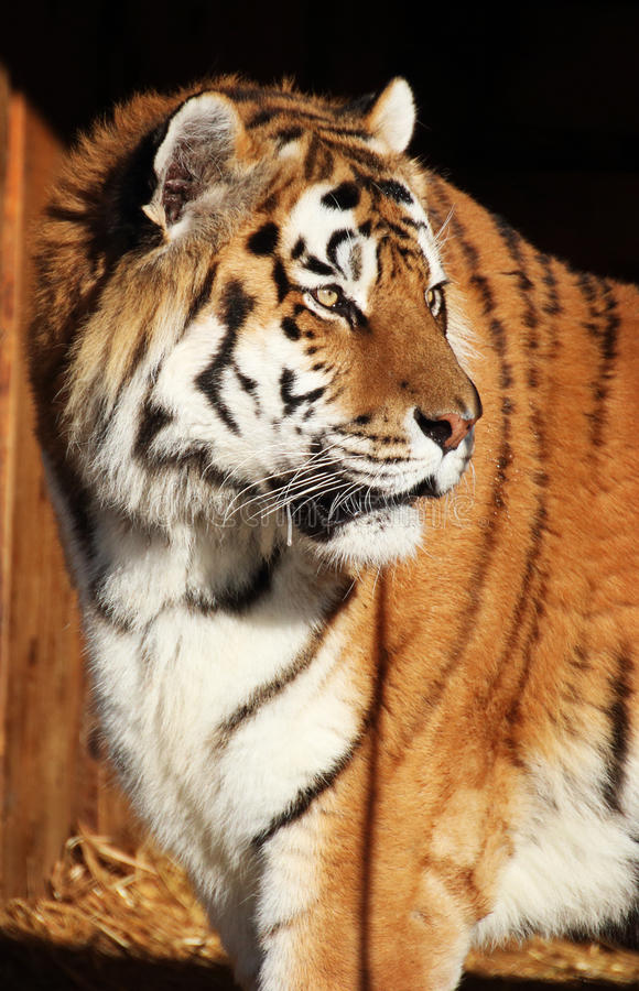 Tiger i solen royaltyfri fotografi