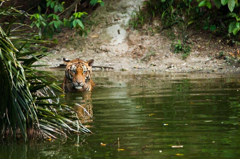 Tiger im Teich lizenzfreie stockfotografie