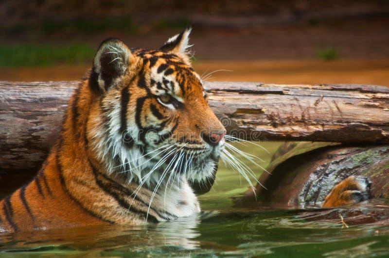 Tiger im Wasser lizenzfreie stockfotografie