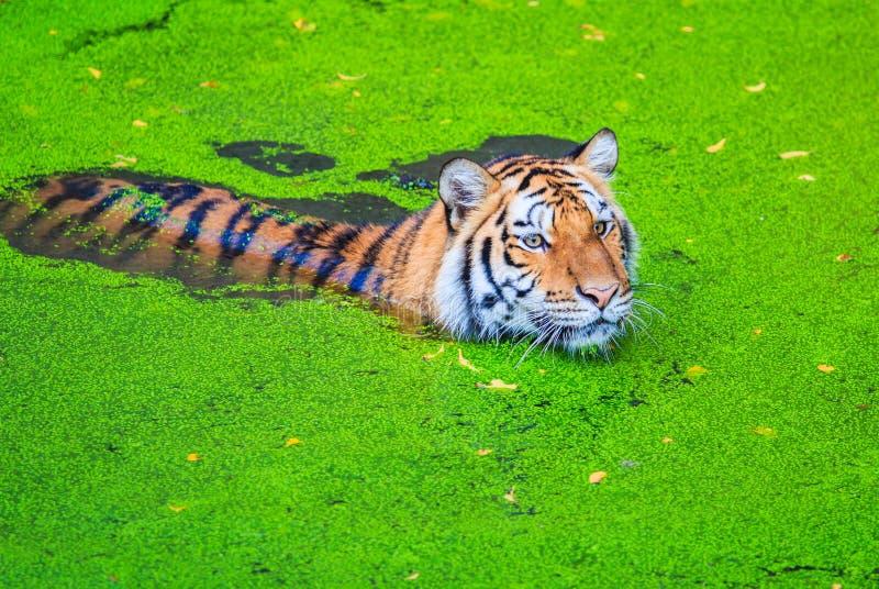 Tiger im Wasser stockfotos