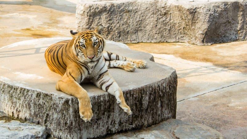 Tiger im Zoo ist das beste Foto lizenzfreie stockfotos