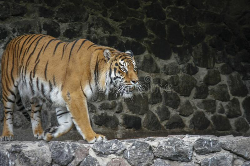 The tiger imposingly goes on the concrete path and rests, a beautiful powerful big tiger cat on the background of summer green. Grass, stones and green water in royalty free stock photos