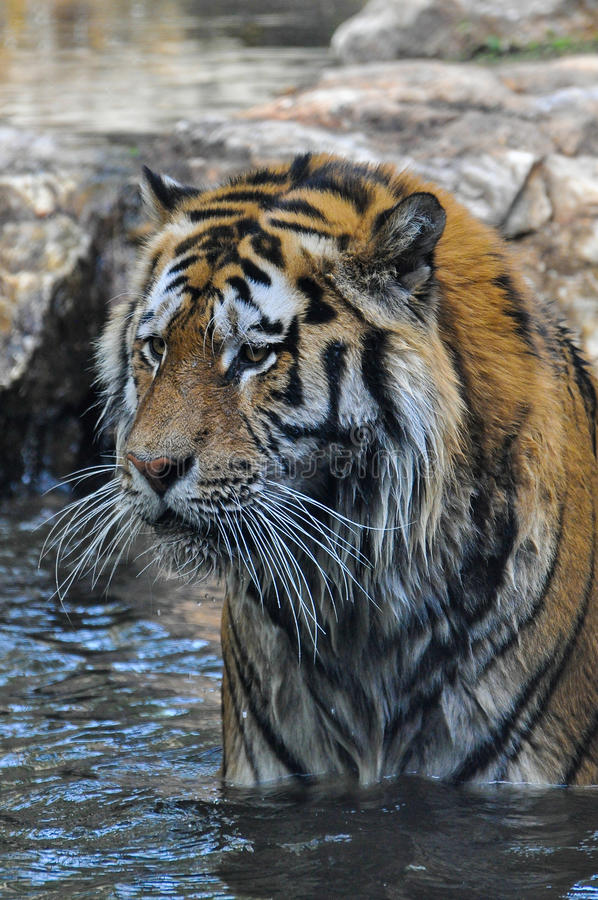 Free Tiger In Water Royalty Free Stock Photography - 33726947