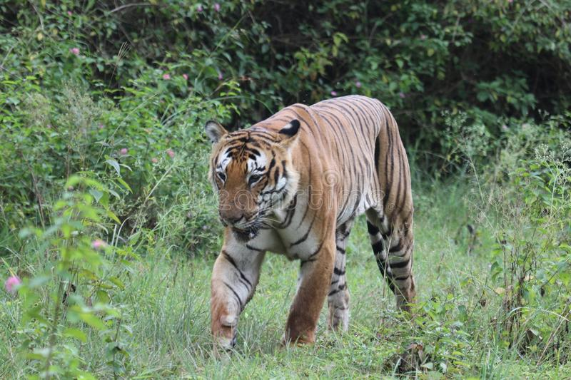 Tiger. In Indian forest stock photography