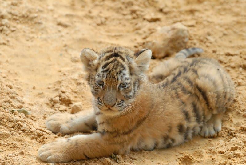 Tiger-Junges Lagen auf Sand. stockbild