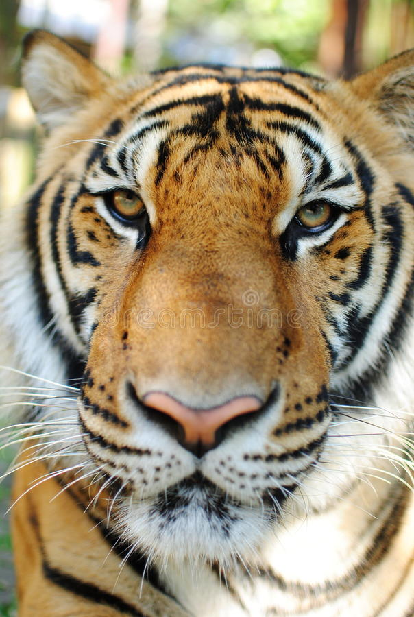 Tiger Kingdom in vacanza fotografie stock libere da diritti