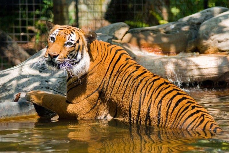 Tiger in lake stock image