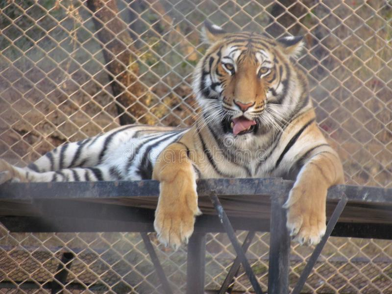 Tiger Sitting in a zoo. The tiger is the largest cat species, most recognizable for their pattern of dark vertical stripes on reddish-orange fur with a lighter royalty free stock photography