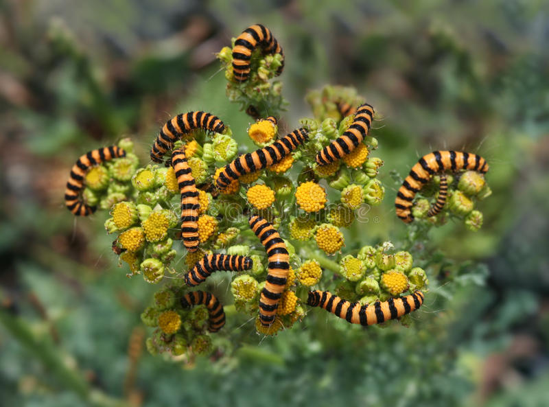 Tiger Larvae Invasion. A large group of larvae invading a host plant. Beautiful colors and abstract nature photo royalty free stock photos
