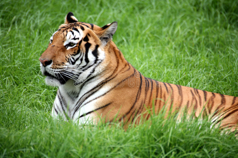 Tiger Laying Down Royalty Free Stock Photos