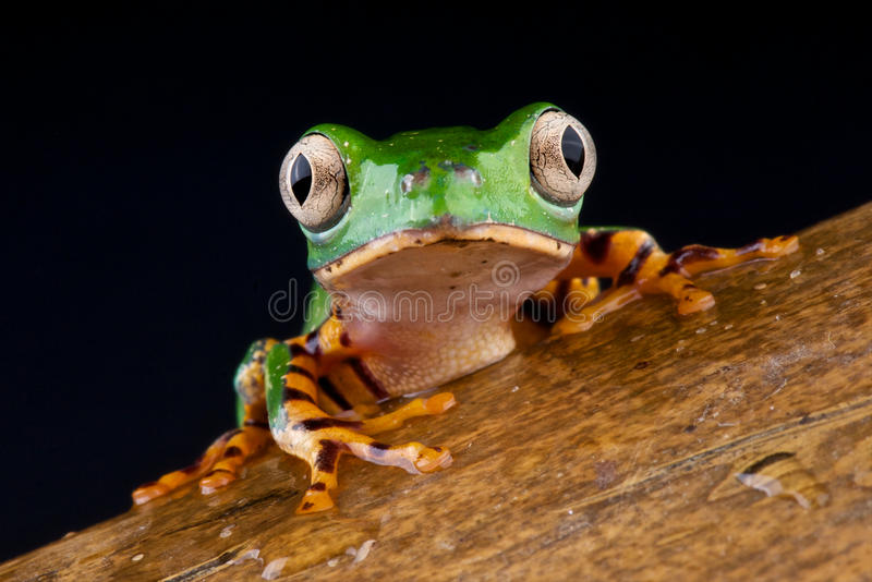 Tiger Legged Monkey Tree Frog Royalty Free Stock Image
