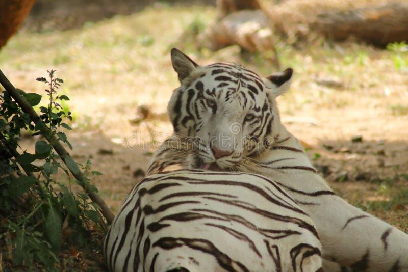 Tiger Is Licking His Back bianco immagini stock libere da diritti