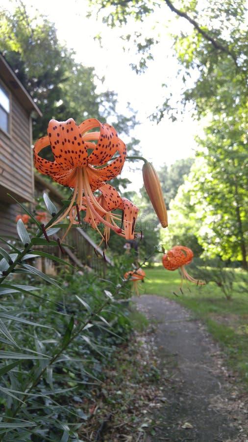 Tiger Lilies lizenzfreie stockfotos