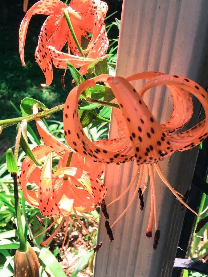 Tiger Lilies royaltyfri foto