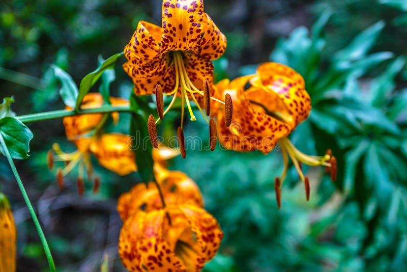 Tiger Lilies en el bosque fotografía de archivo