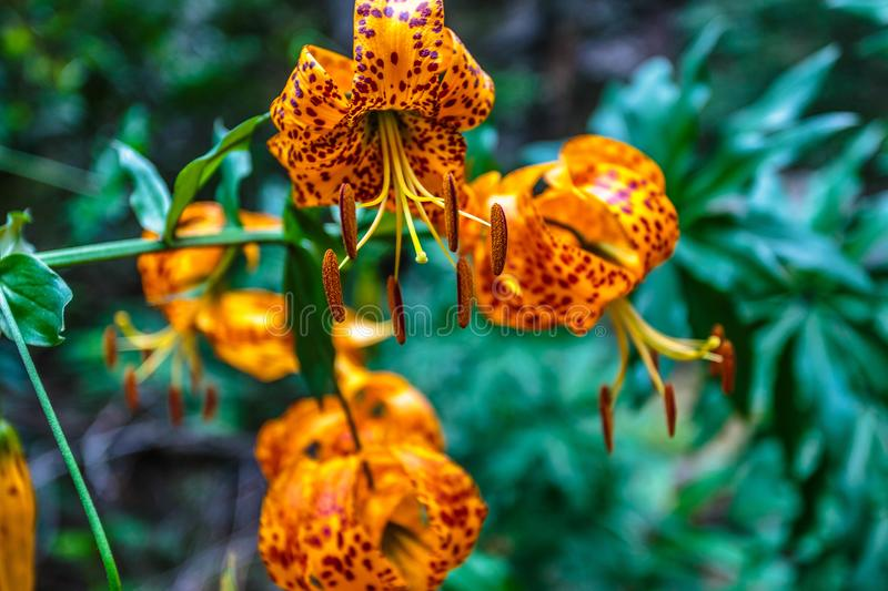 Tiger Lilies in the woods. Beautiful tiger lilies in the woods stock photography