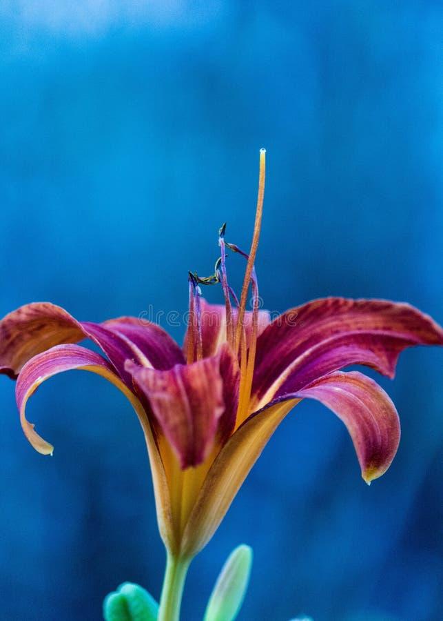Tiger Lily fotografia stock libera da diritti
