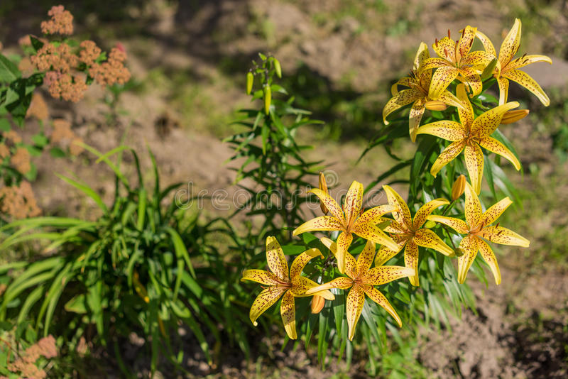 Tiger Lily photo stock