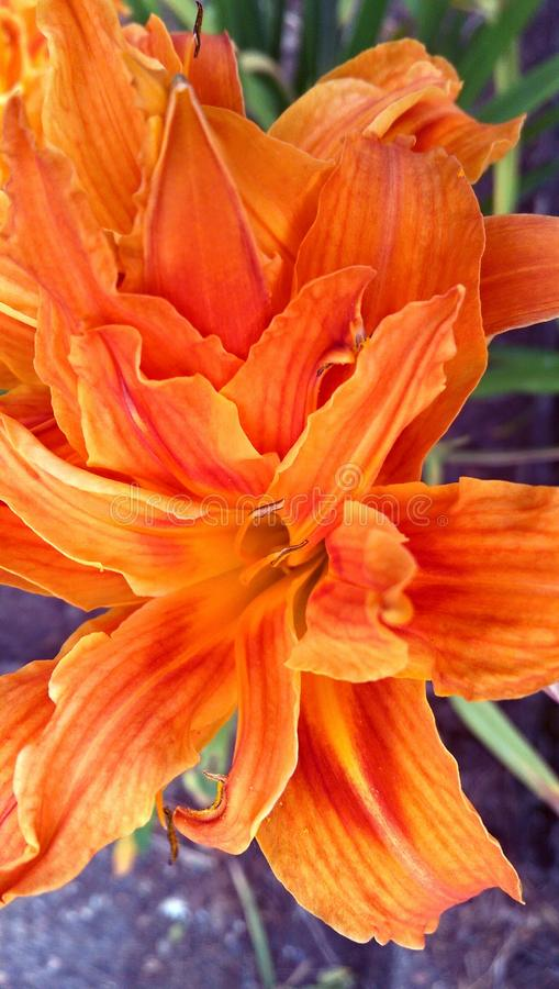 Tiger Lily royalty-vrije stock afbeelding
