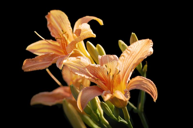 Download Tiger lily stock photo. Image of isolated, season, fragility - 5948878