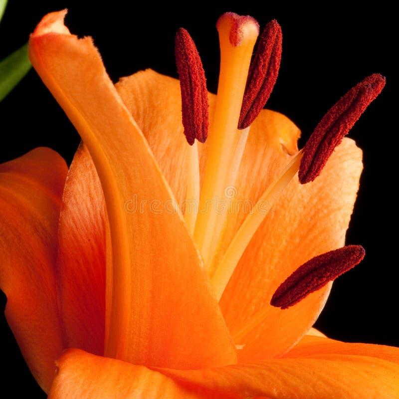 Tiger Lily foto de stock royalty free