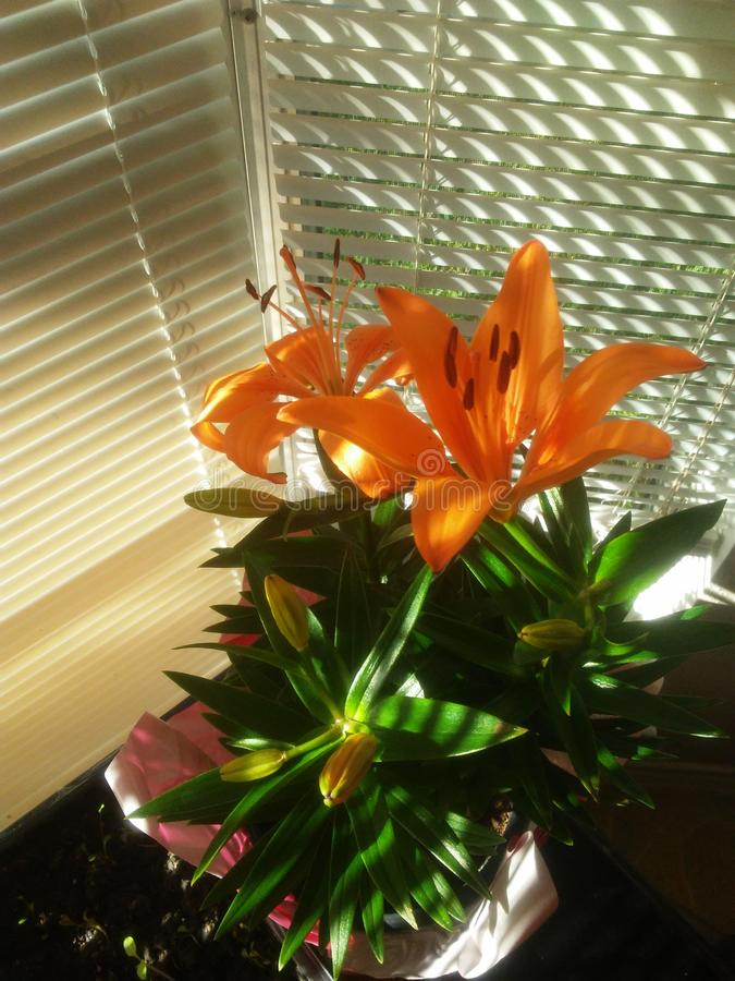 Tiger Lily anaranjado fotografía de archivo libre de regalías